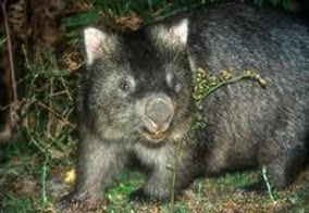 Amazing Pictures of Animals, Photo, Nature, Incredibel, Funny, Zoo, Common wombat, Vombatus ursinus, Marsupial, Mammals, Alex (22)