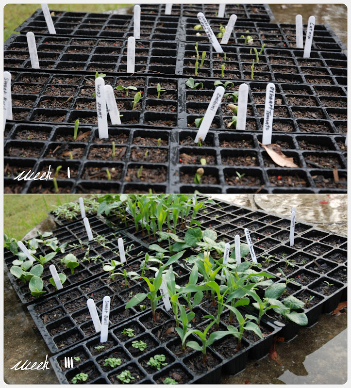 Picnik collage- seedlings