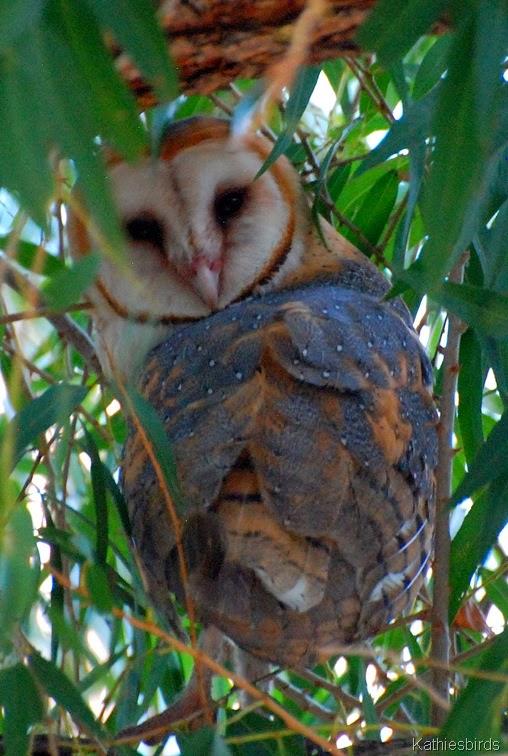 1. Barn Owl-kab