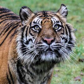 Tiger by Garry Chisholm - Animals Lions, Tigers & Big Cats ( garry chisholm, predator, carnivore, nature, tiger, sumatra, wildlife )