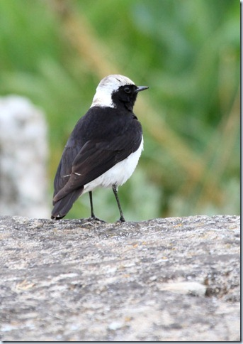 pied_wheatear2