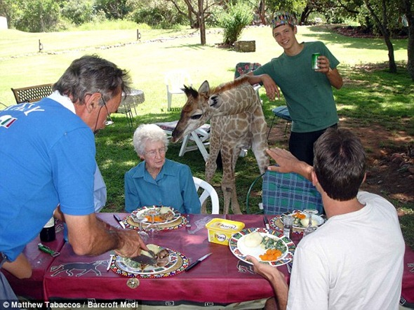 The McRae family eat outdoors, joined by their friendly pet giraffe