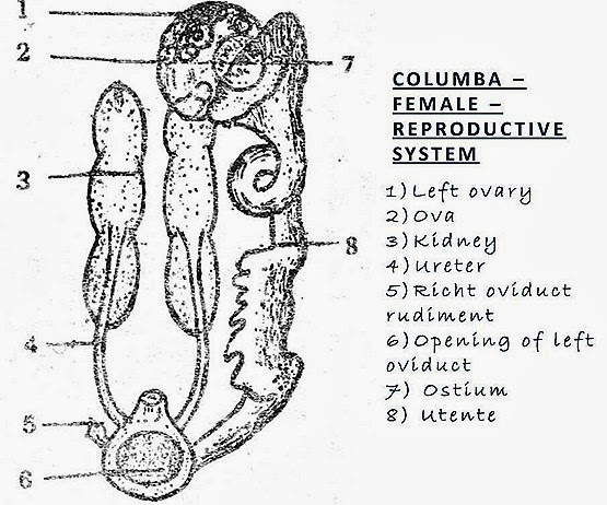 bird-reproductive-system-female