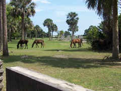 cumberland-island 020