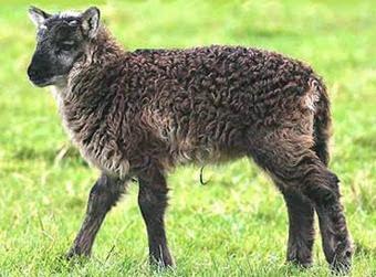 Geep o shot (sheep x goat, capra-pecora)
