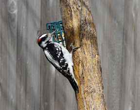 Harry the Hairy Woodpecker eating suet