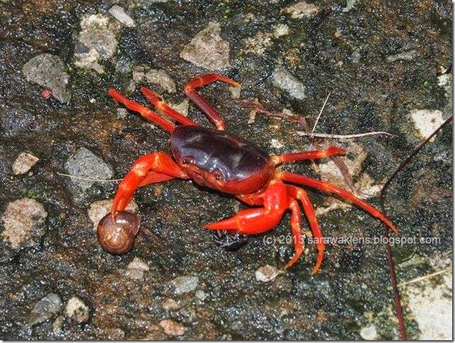 crab_purple_body_red_pincers_borneo