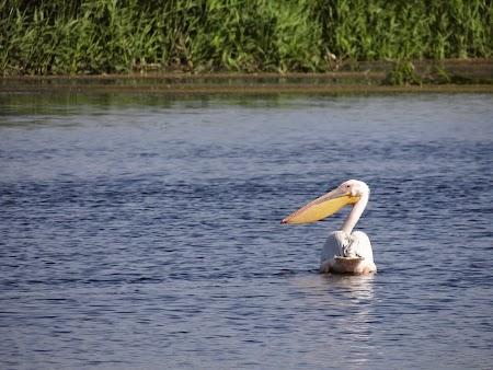 19. Pelican Delta Dunarii.JPG