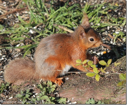 red-squirrel-9