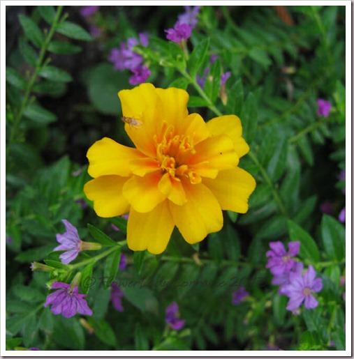 06-23-marigold