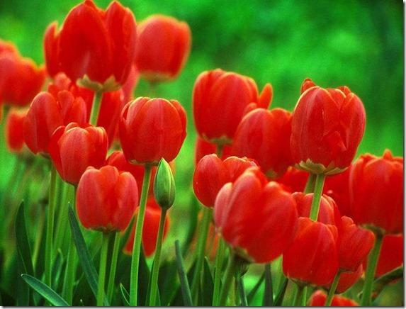 flores-facebook-tumblr-rosas-las flores-fotos de flores-760