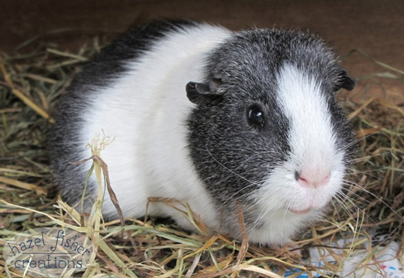 2015 March 6 Basil guinea pig photo hazel fisher creations