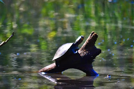 Jungla amazoniana Broasca testoasa la bronzat