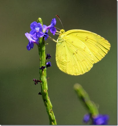 common grass yellow on snakeweed