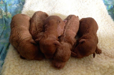 red labradoodle puppies