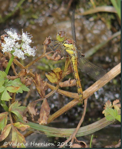 12-common-darter