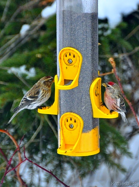 DSC_0618 Common redpolls-kab
