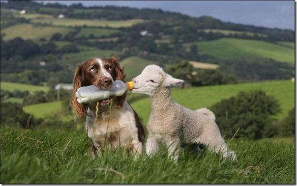 Cachorro alimentando um cordeiro (2)