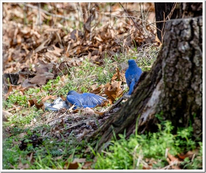 Bluebirds-1-4