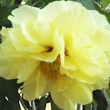 牡丹の見頃は、花が咲いてから約5日間です。大輪だけあって綺麗に咲いている期間はとても短いです。