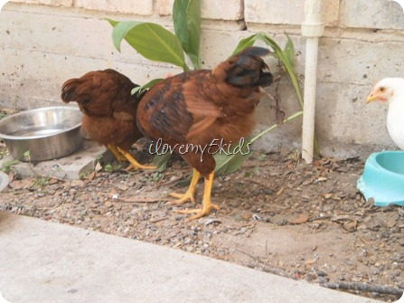 Can you tell if it is a rooster or hen?