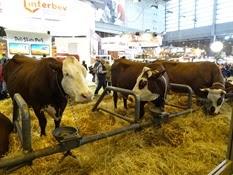 2015.02.26-056 vache Abondance