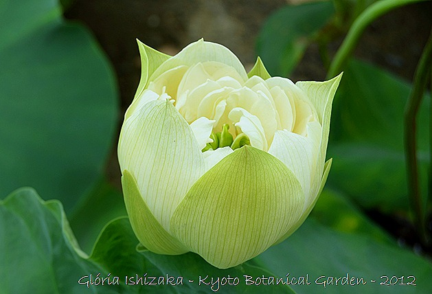 The lotus flower and the various meanings peace for the soul 1 in the east the lotus flower signifies spiritual purity the lotus also known as lotus egyptian lotus or sacred lotus in india is an aquatic plant mightylinksfo