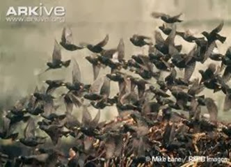 Amazing Pictures of Animals, Photo, Nature, Incredibel, Funny, Zoo, Common Starling, Stumus vulgaris, Bird, Aves, Alex (5)