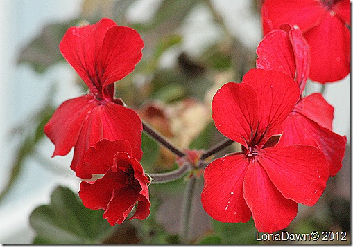 Autumn_Red_Geranium_Ivy