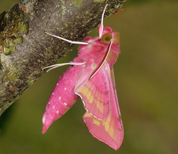 Pink Elephant Hawk Moth