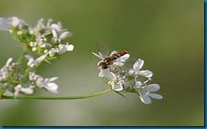 cilantro with bee