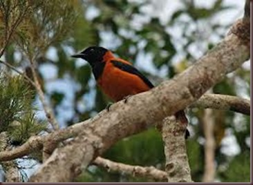 Amazing Pictures of Animals Pitohui Poisonous Bird. Alex (6)