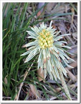 130225_Euphorbia-characias-Tasmanian-Tiger_01