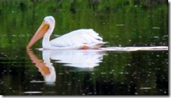 White Pelican at Eco Pond