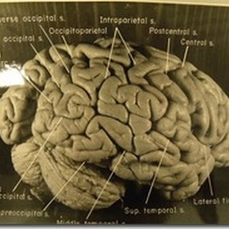 Otak Einstein memiliki Pola Lipatan yang Luar Biasa..!!