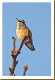 - Rufous HummingbirdROT_9386-Edit November 20, 2011 NIKON D3S