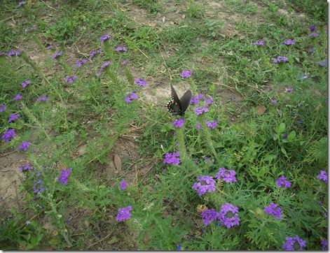 butterflies, larkspur and train 024