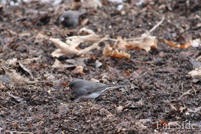 Juncos are here