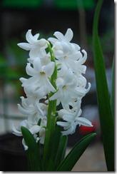 jacinto branco