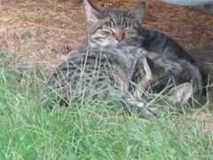 1 new kitties 10.2011 both kitties under camper snuggling3