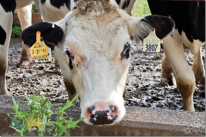 cows-9786