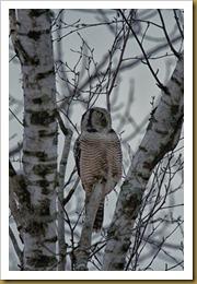 Northern Hawk owl birchROT_2398