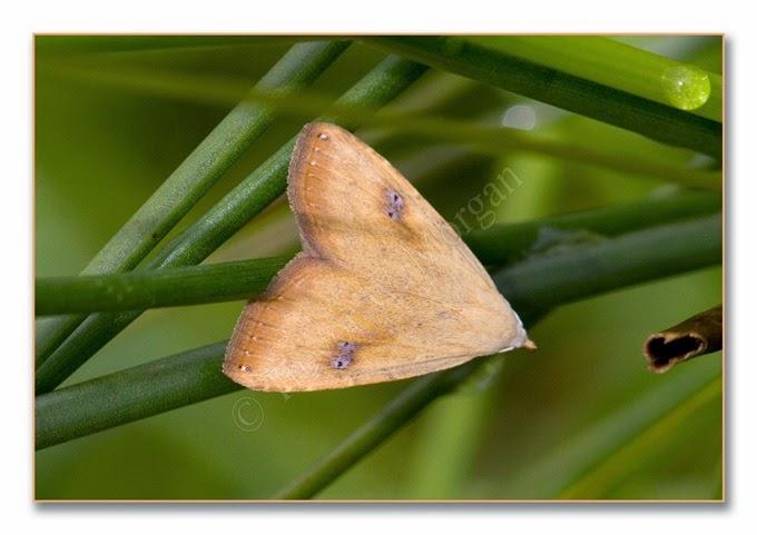 Day Moth 14  Straw Dot