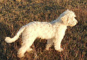 Beautiful Gold Sky, our future gorgeous labradoodle stud dog.