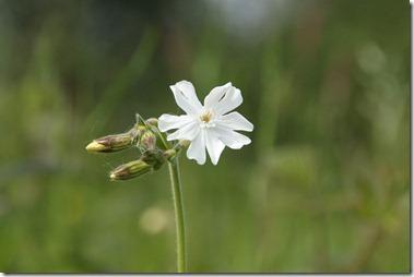Avondkoekoeksbloem,Silene latifolia subsp. alba(学),マツヨイセンノウ(待宵仙翁),