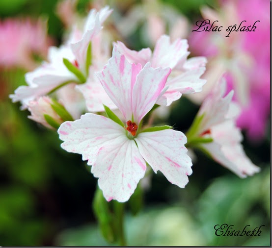 Pelargonium oasen.: lilac splash