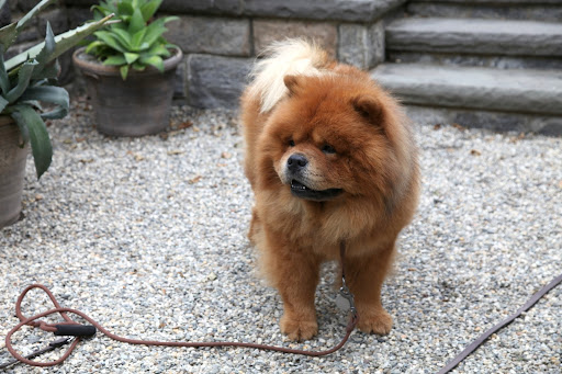 Chow chows are Chinese in origin and were often used as guard dogs at monasteries.  Chinese monks practiced meditation to put their minds in a state of tranquility, while searching for enlightenment.