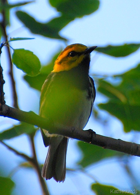 1. black-throated green warbler-kab
