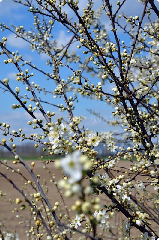 Kirschblüten (02) am Rhein zum kleinen Dienstag