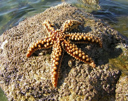 Amazing Pictures of Animals, Photo, Nature, Incredibel, Funny, Zoo, Starfish, Sea Stars, Asteroidea, Alex (2)